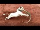 So găng gây cấn giữa kỳ đà và chó pull Pull phải chào thua hàng rừng nguy hiểm này lizard vs dog