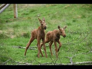 Два маленьких лосенка гуляют с мамой