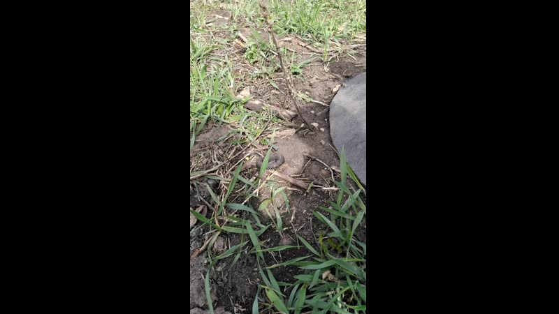 Безвредная змейка на огороде в Куркино