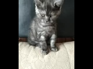 Казань шотландский мраморный котенок