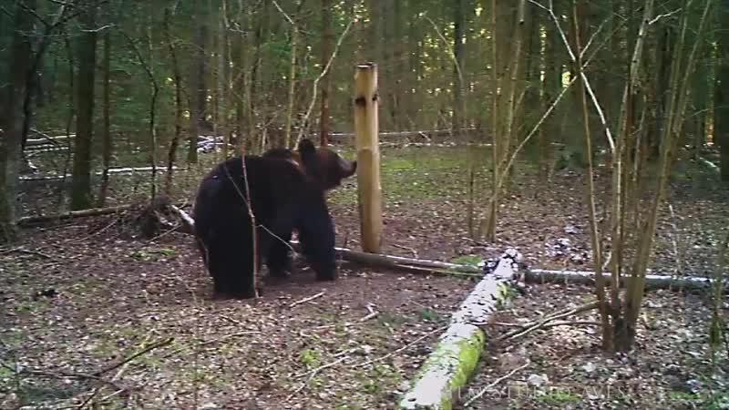 Медвежий угол Где в Беларуси можно увидеть диких Бурых медведей