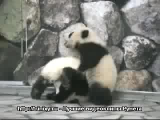 Панды борцухи