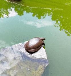 Turtle Enjoying A Nice Morning Stretch (@antayaresorts) GIF   Gfycat