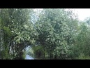 Черемуховый цвет 25.05.19 сыро и дождливо