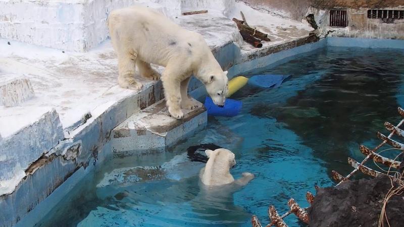 プールでめっちゃ嬉しそうなイッちゃん Шилка &ゴーゴ 同居5日目 2020 02 29 天王寺動物園のホッキョクグマ