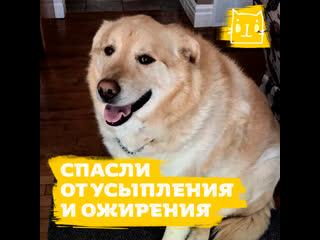 Пес, который весил 78 кг, смог похудеть