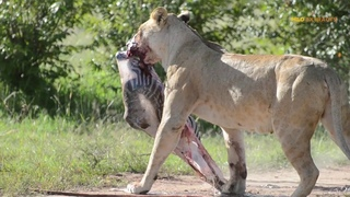 MOST AMAZING MOMENTS OF LION CAUGHT ON CAMERA  Lion Ambush Animals Going To Find Water