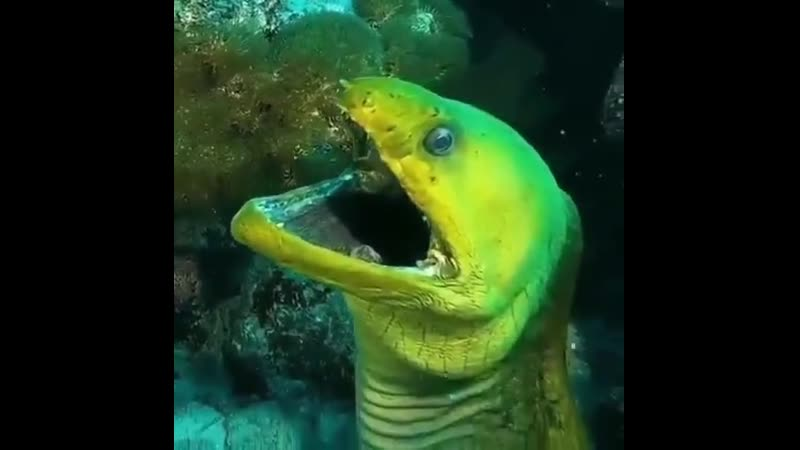 Зелёный морской угорь