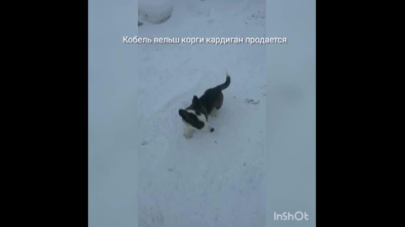 Вельш корги кардиган кобель щенок продается