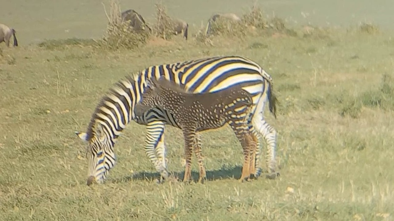 Rare Mutated Zebra Has Spots