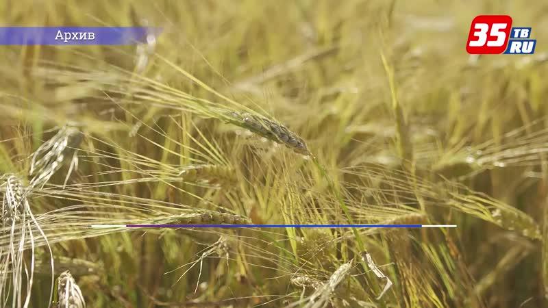 Дождливое лето может повлиять на урожай зерновых в Вологодской области