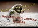 Уход за щенком алабая/Правильное питание, дрессировка и выбор щенка