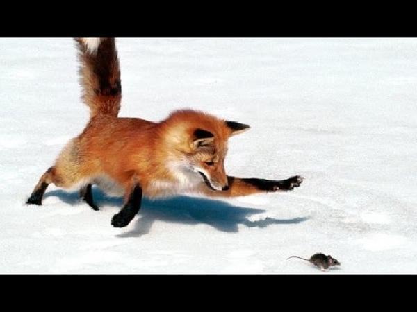 Рыжие охотники! Лиса охотится на мышей!