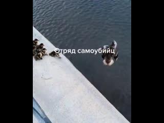 Утка учит утят прыгать с моста в воду
