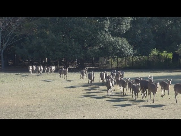 Ring the horn and call the deer NARA PARK ,JAPAN