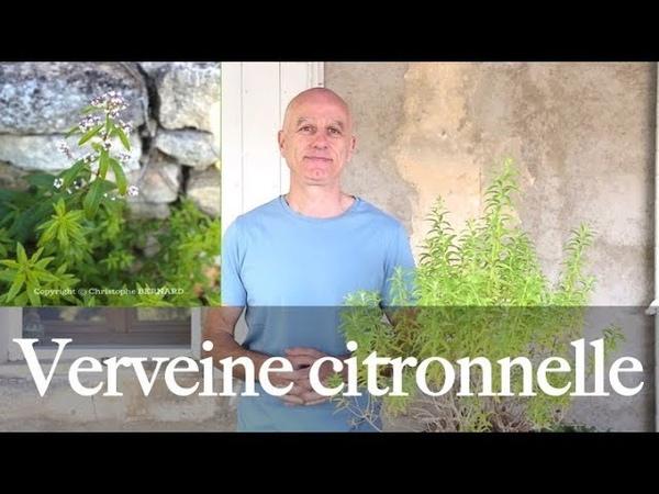 Verveine citronnelle Aloysia citriodora calmante digestive antioxydante