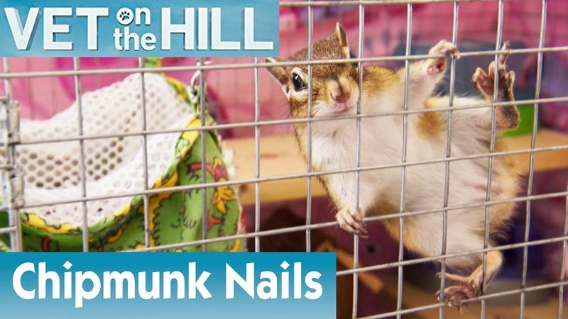 Ветеринар на холме Стрижка когтей бурундуку (2 сезон 4 серия) Clipping A Cute Chipmunk's Nails | S02E04 | Vet On The Hill