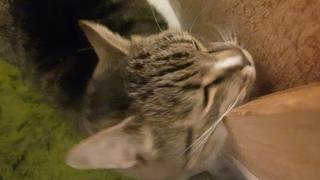 Кот Тигрик трется мордочкой и мурлычет
