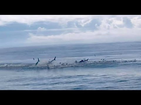 Shocking moment sharks leap out of the water to catch hundreds of fish during mad feeding frenzy
