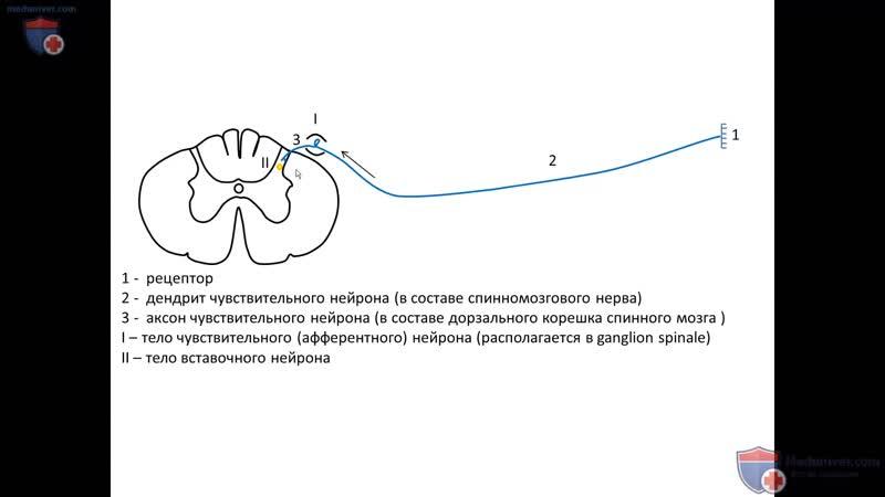 Схема и звенья рефлекторной дуги