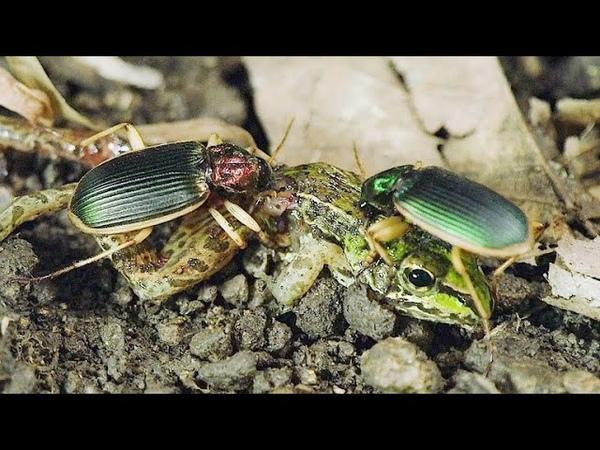 ЖУЖЕЛИЦЫ В ДЕЛЕ Эти маленькие агрессивные и голодные жуки нападают на всех