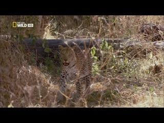 Леопарды дельты Окаванго / Leopards of Dead Tree Island