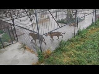 Елена Желябова: редкие кадры из вольера молодых тигров! Rare shots from the enclosure of tigers!