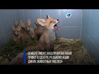В центре диких животных «Велес» выхаживают оставшихся без матери лисят