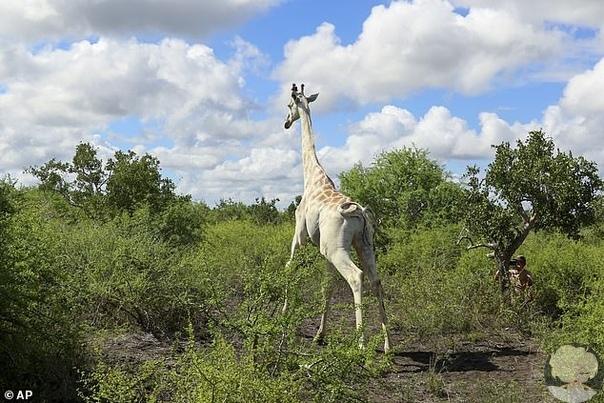 В Кении единственный оставшийся в мире белый жираф был оснащен устройством GPS-слежения, чтобы можно было спасти его от браконьеров Об этом сообщает ВВС. После того, как камеру установили на