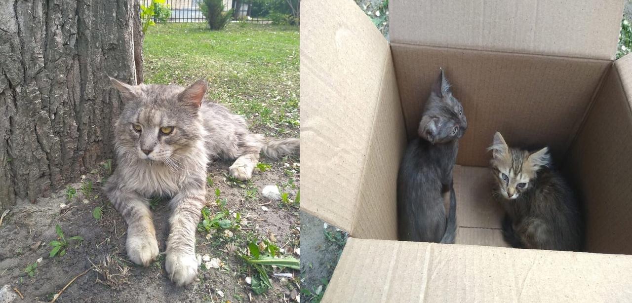 🥺 В Воронеже бездомный мейн-кун охранял котят в коробке. Волонтеры рассказали тр...