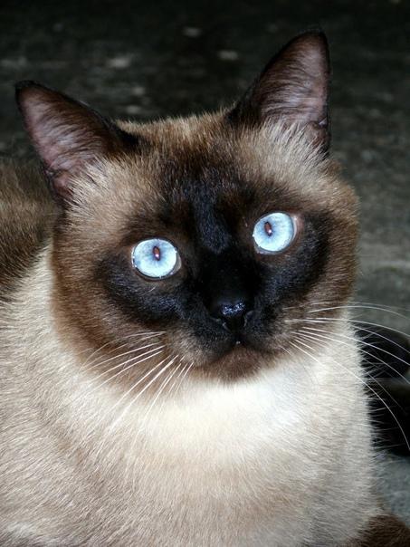 Мать не терпела кошачьего племени, но дочь Ирка принесла домой сиамку Мулю Это была взрослая кошка, за которой попросила присмотреть на время командировки знакомая режиссёрша. Котяра была