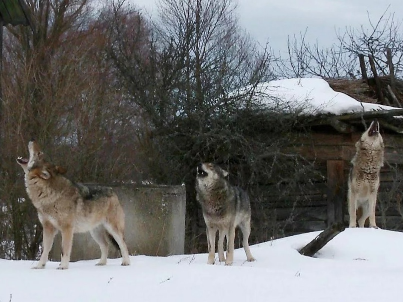 Волки в Тихвине 🥴
