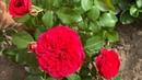 Розы Леонардо да Винчи и Ред Леонардо да Винчи, сравним Rosе Leonardo da Vinci