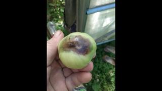 Почему у помидор снизу плода чёрное пятно?Вершинная гниль- причины появление и борьба.