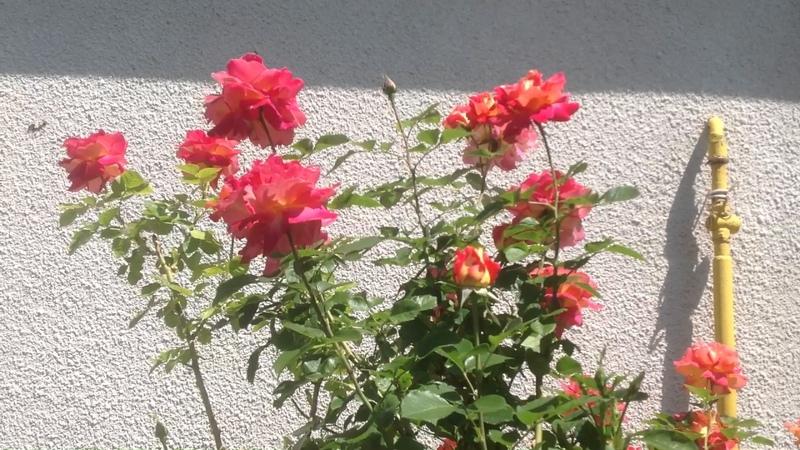 Плетистая роза Декор Арлекин от Meilland Первая волна цветения в июне