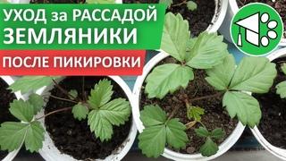 Уход за РАССАДОЙ ремонтантной ЗЕМЛЯНИКИ (клубники) из семян | Как вырастить рассаду земляники