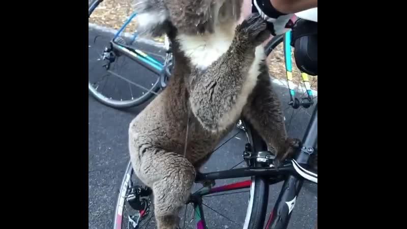 Австралия. В 40-градусную жару люди пришли на помощь дикой коале и угостили водой -