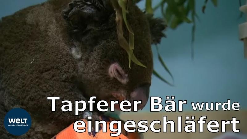 Geretteter Koala erliegt seinen Brandverletzungen