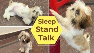 Shih Tzu Sleep, Stand and Talk Performance   Shih Tzu Puppy Funny Videos