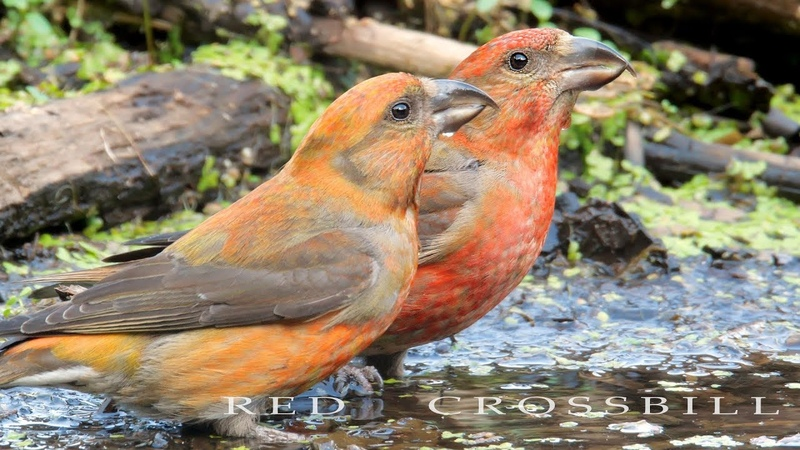 Red crossbill Flock of the birds drinks water Loxia curvirostra