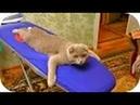 ПРИКОЛЫ с кошками, смеялся до слез! 3 Funny Cats Video