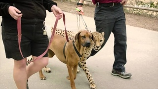 Cheetah and dog race in epic video to see who's faster