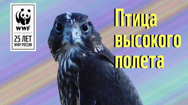 Сибирское сокровище Сокол балобан