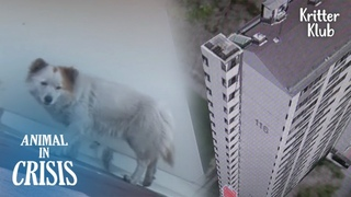 Dogs Been Cornered To Live On 18 Floors High Roof, About To Fall Off Cliff   Animal in Crisis EP226